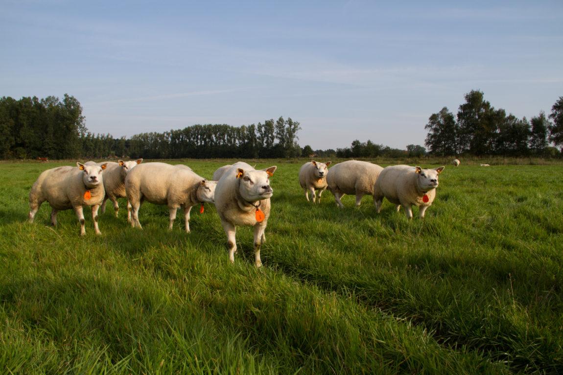Sint-Annahof schapen boerderij Lummen 3