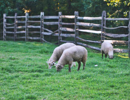 Sint-Annahof schapen boerderij Lummen 15