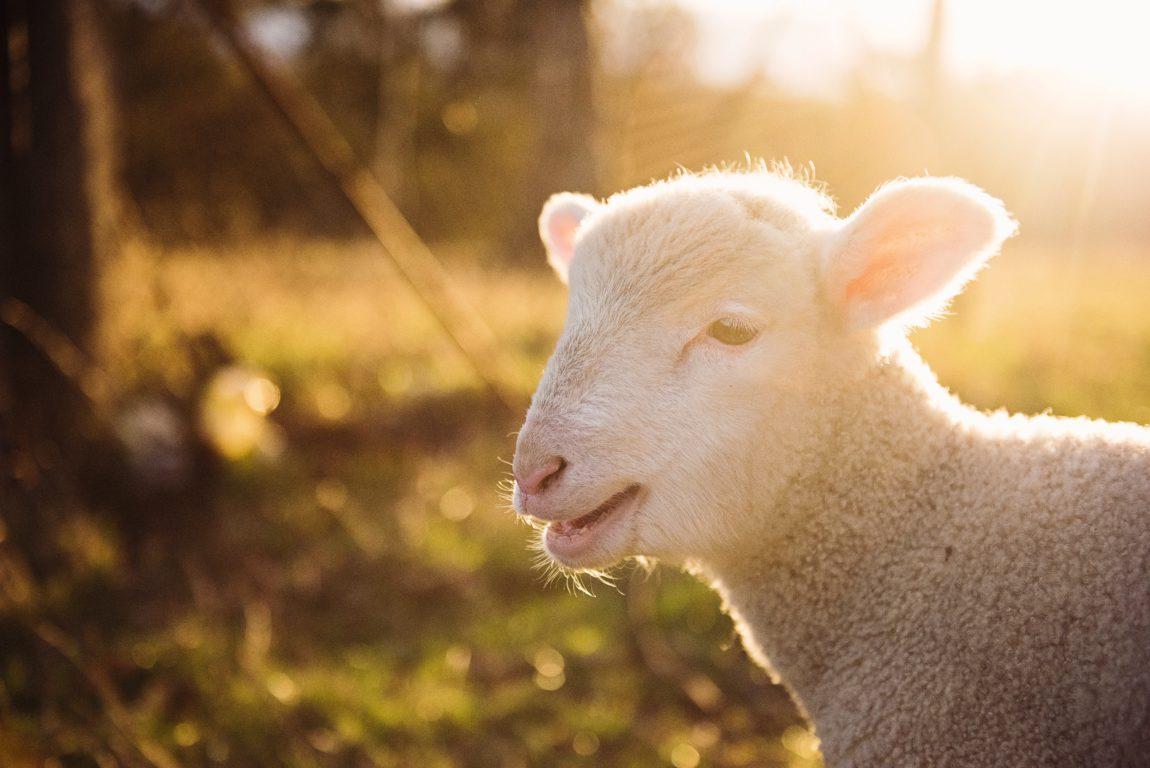 Sint-Annahof schapen boerderij Lummen 10