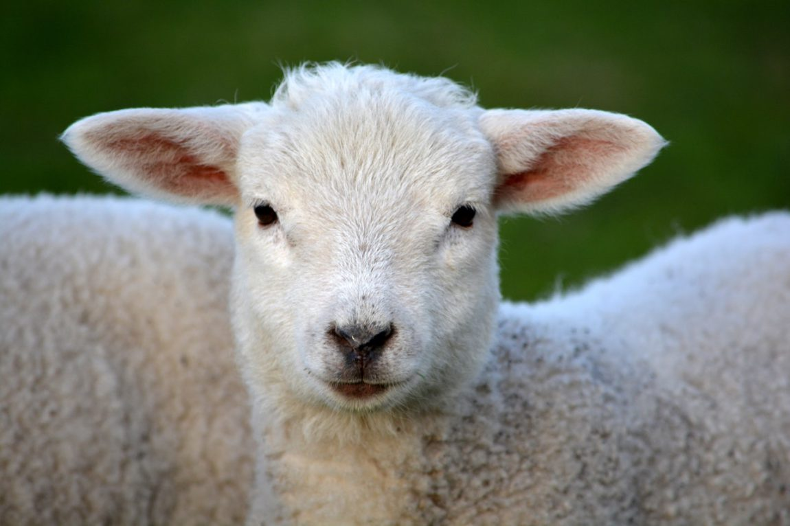 Sint-Annahof schapen boerderij Lummen 11
